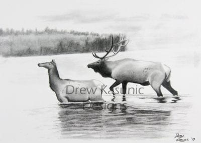 Pencil Drawing of Colorado Elk walking in Still Waters